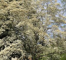 Dogwood by carolinagirl10