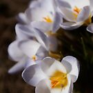 the soft and sultry white lady crocus by sesheshet