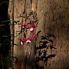 Fuschia - Nicholas garden Mt. Dandenong by JohnBoyzo