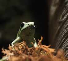 Poison Dart Frog by Yacoub Hilweh