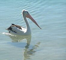 Cool Pelican by Alison Murphy
