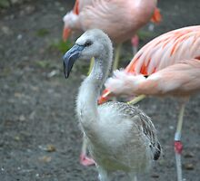 Baby flamingo at Woodlands Zoo by Kate Farkas