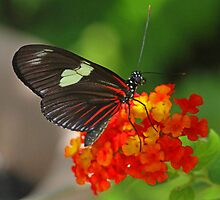 Sara longwing butterfly by jozi1