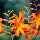 Wild Orange by ZIGSPHOTOGRAPHY