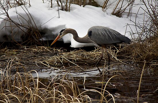 Blue Heron Hunting by Justin Atkins