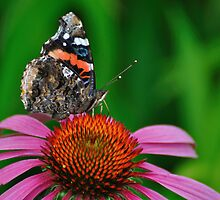 Butterfly on Cone Flower by Mully410