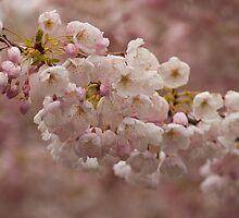 Cherry blossom. by Aler