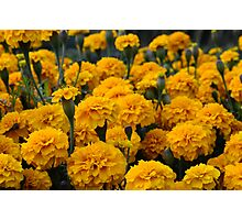 marigolds 2 Photographic Print