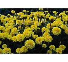 marigolds 3 Photographic Print