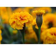 marigolds 4 Photographic Print