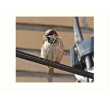 nest building sparrow Art Print