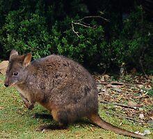 Pademelon Wallaby, Cradle Mountain national Park, Tasmania, Australia by Jane McDougall