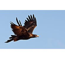 Wedge tailed eagle (circling) Photographic Print