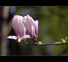 Magnolia  ....Song by J.J. Cale by John44