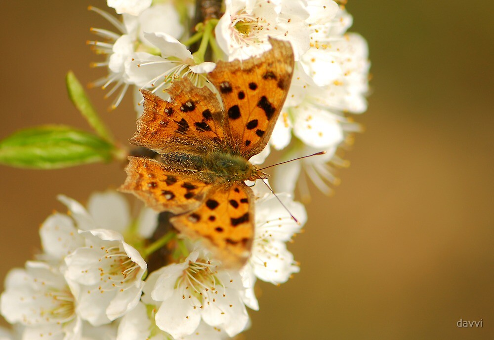 comma butterfly by davvi