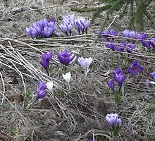 Spring IS Springing by Nicole  Gokey