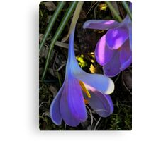 Crocus - Fading Beauty Canvas Print