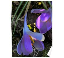 Crocus - Fading Beauty Poster