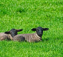 Spring lambs, Tintern, County Wexford by Andrew Jones
