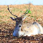 Fallow Deer at Knole by Dave Godden