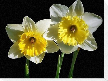 Daffodils by RickDavis