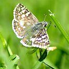 grassy moth by rljphotography