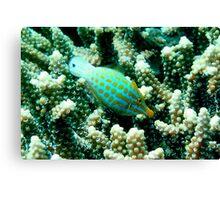 Longnose Filefish Canvas Print