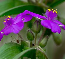 Wildflower Fuchsia Spiderwort Twins by Lee Hiller