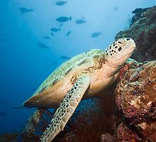 Green turtle underwater  by MotHaiBaPhoto Dmitry & Olga