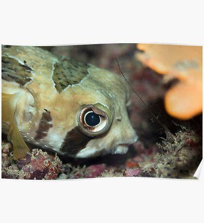 Tropical fish Porcupinefish  Poster