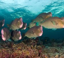 Early morning with the Humphead Parrotfish by Gorden