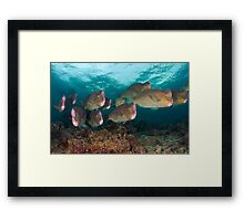 Early morning with the Humphead Parrotfish Framed Print