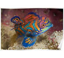 One of the most beautyful coloured fish  Poster
