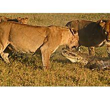 Lion-crocodile interaction 6 Photographic Print
