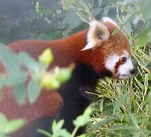 Red Panda-Bristol Zoo by TheFacelessFool
