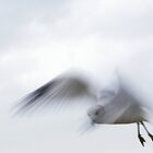 Ghost Gull by MaryinMaine