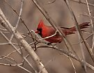 Northern Cardinal - Male by Benjamin Brauer