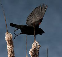 Red-Winged Blackbird - In Flight #2 by Benjamin Brauer