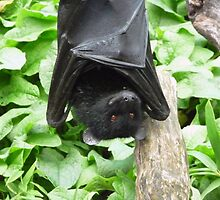 I Haz a Happy- Bristol Zoo Livingstone's fruit bat by TheFacelessFool