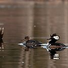 Hooded Merganser Pair by Benjamin Brauer