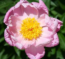 Peony by Rambling Rose by RamblingRose
