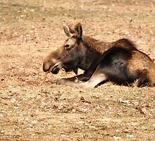 Moose  by smalletphotos