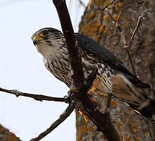 Monsieur Merlin / Male Merlin by Gary Fairhead