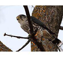 Monsieur Merlin / Male Merlin Photographic Print