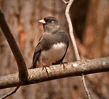 Slate Colored Junco by Scott Denny