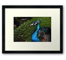 Peacocks of Launceston 2 Framed Print