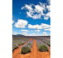 Lavender Farm 1 Photographic Print