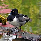Ring-Necked Duck by Jennifer Hulbert-Hortman