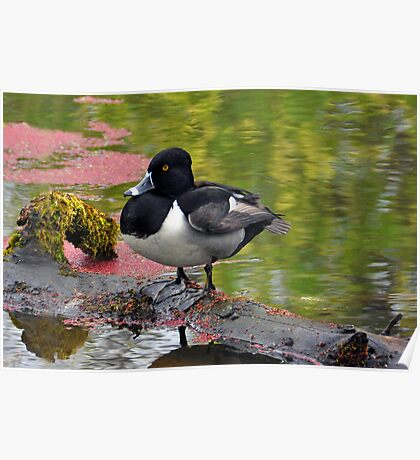 Ring-Necked Duck Poster