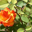 Flaming Rose by DebbieCHayes